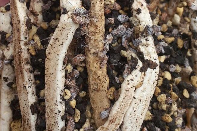 兰花植料中的白丝丝