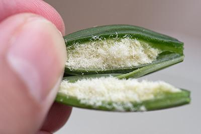 家庭条件下的兰花种子播种实验
