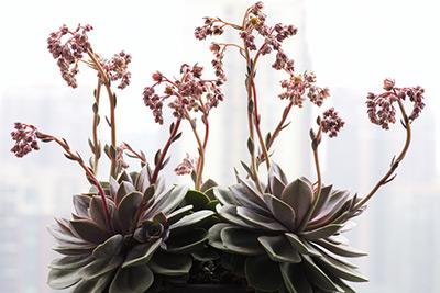 多肉紫珍珠盛开,硬派插个花(视频)