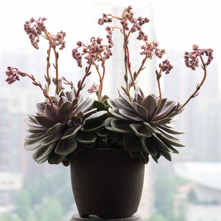 多肉紫珍珠开花