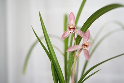 新津胭脂-兰花春剑的色花品种