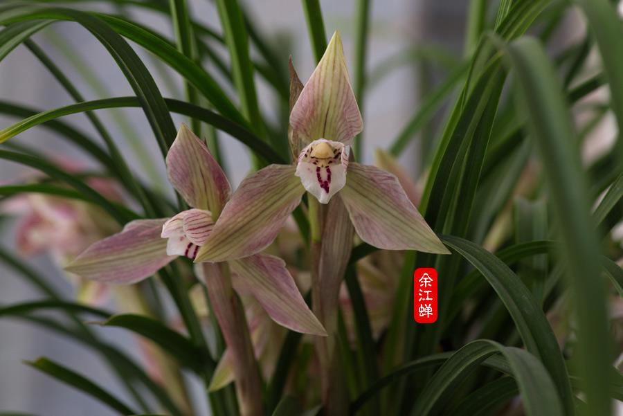 余江蝉的花朵
